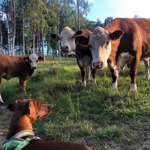 Hund trifft Kühe Schweden